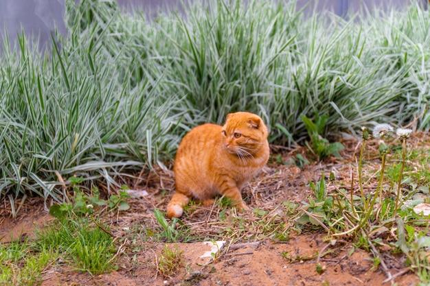 Rote katze, die zu hause im sommer auf einem hintergrund des grünen busches sitzt