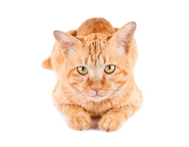 Rote katze isoliert auf weißem hintergrund