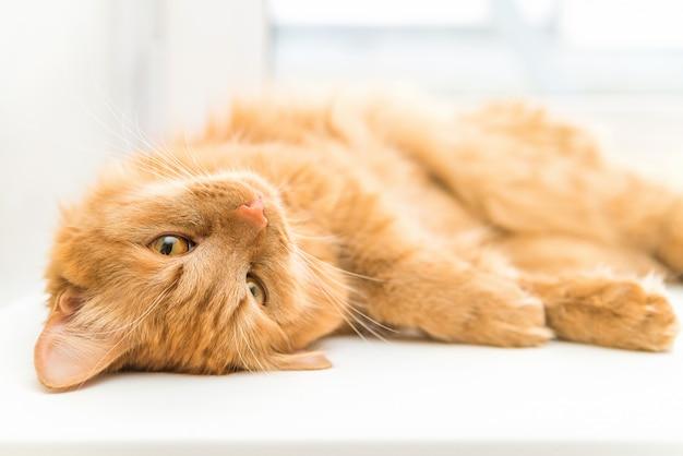 Rote katze, nettes haustier, welches die kamera, schönes katzenstillstehen liegt und betrachtet