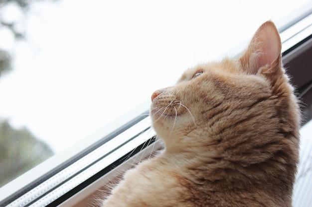 Rote katze schaut aus dem fenster. profil, ansicht von unten.