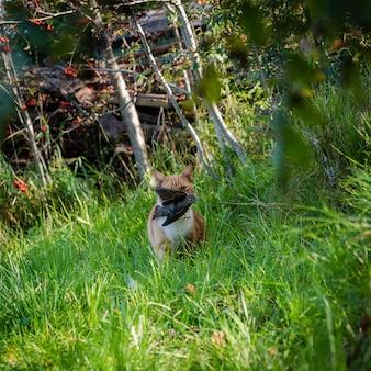 Rote katze trägt im maul, den vogel gefangen. das aussehen eines raubtiers in der kamera