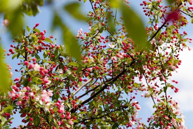 Rote kirschblüte im frühling