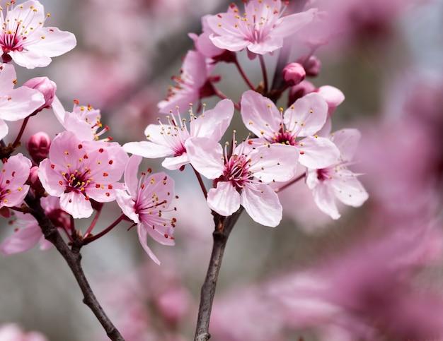 Rote kirschblütenblüten auf zweig