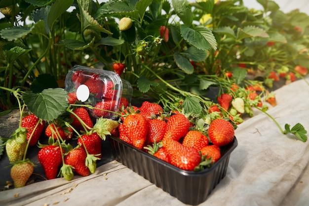 Rote köstliche reife erdbeere in spezieller schwarzer box