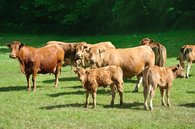 Rote kühe auf einer wiese