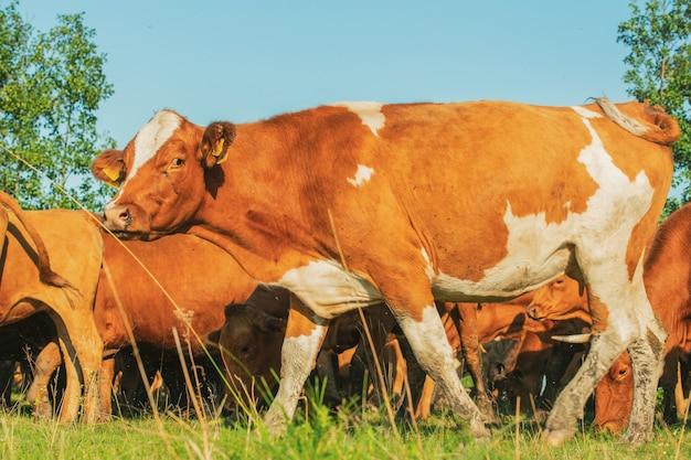 Rote kühe und kälber auf der wiese