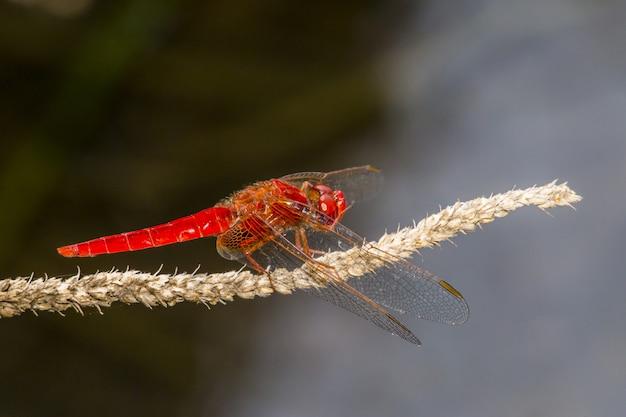 Rote libelle auf pflanzennahaufnahme