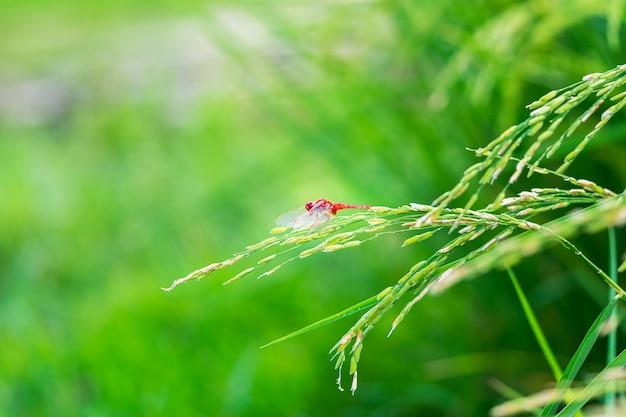Rote libelle, die an reispflanze hängt