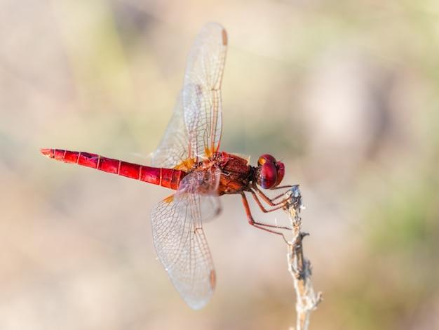 Rote libelle