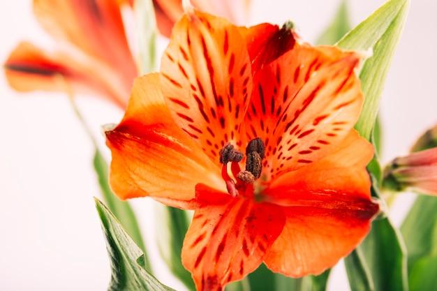 Rote lilie im garten