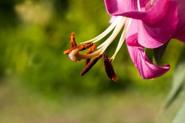 Rote lilien im frühling, lilienblüten zur dekoration und für die landschaftsgestaltung