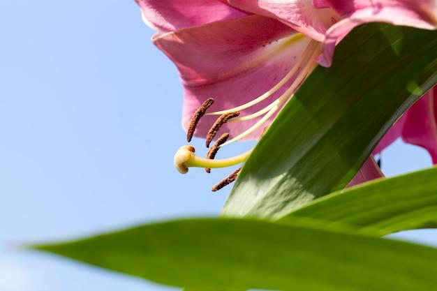Rote lilien im frühling
