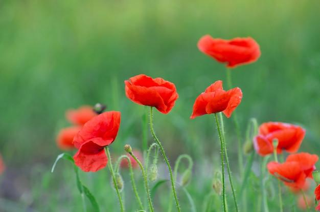 Rote mohnblume auf dem feld