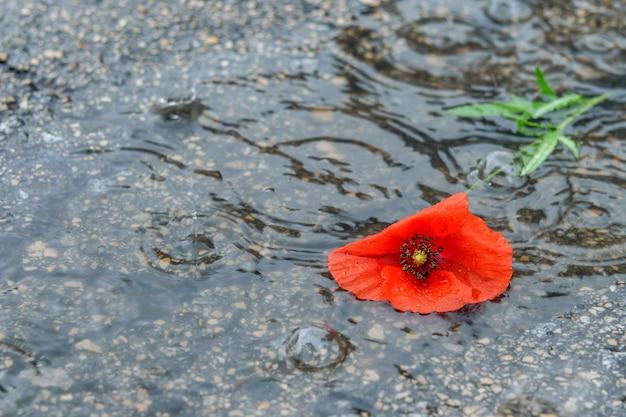 Rote mohnblume auf dem feuchten land, regentropfen tropfen auf die mohnblume. frühlingswetter, regenzeit.