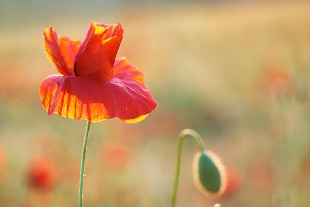 Rote mohnblume auf der wiese bei sonnenuntergang. weicher bokeh-hintergrund