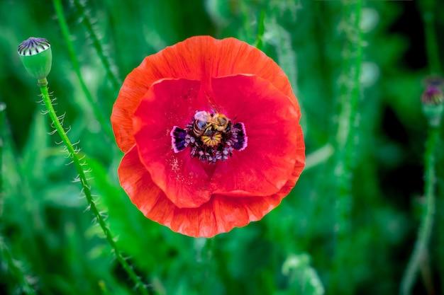 Rote mohnblume auf einer grünen unschärfe