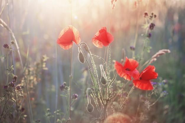 Rote mohnblume auf sonnigem feld