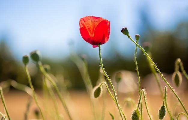 Rote mohnblume mitten auf einem feld