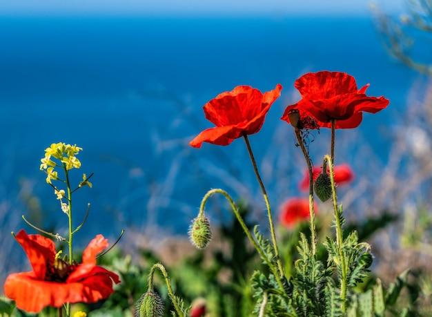 Rote mohnblumen am rand der klippe der küste im hintergrund türkisfarbenes meer background