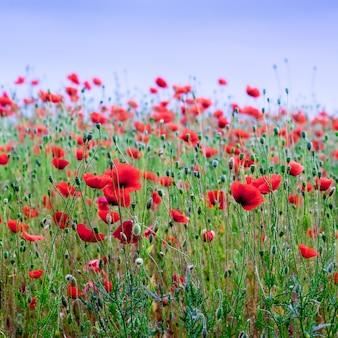 Rote mohnblumen auf dem feld. mohnblüte_