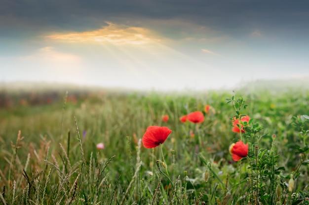 Rote mohnblumen auf dem feld während des sonnenaufgangs. sonnenstrahlen dringen mit mohnblumen durch die wolken über dem feld