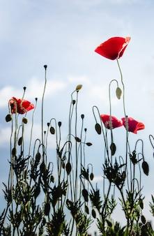 Rote mohnblumen auf langen grünen stielen gegen einen blauen himmel. vertikales foto