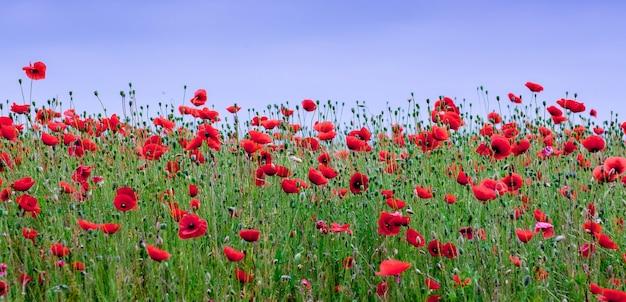 Rote mohnblumen blühen auf dem feld