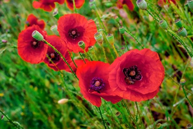 Rote mohnblumen blühen auf wildem feld. schöne feldrote mohnblumen. natürliche drogen. lichtung roter mohnblumen. gedenktag, anzac-tag, gelassenheit.