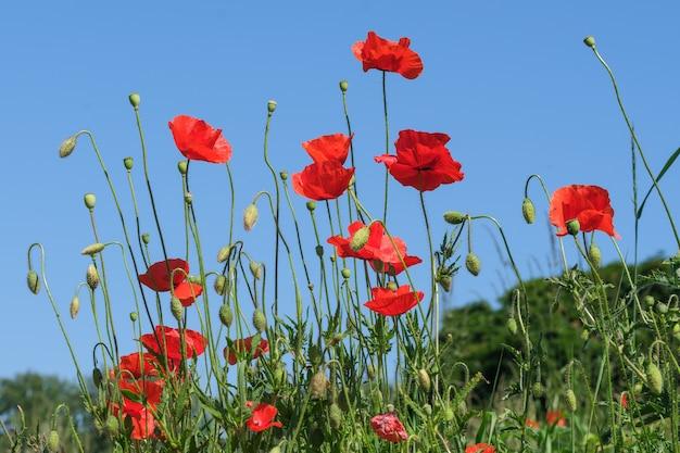 Rote mohnblumen blühen wunderschön gegen den blauen himmel an einem sonnigen sommertag in nahaufnahme