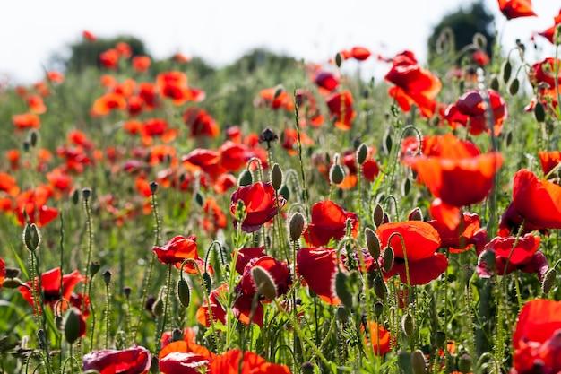 Rote mohnblumen, die begonnen haben zu verblassen