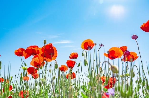 Rote mohnblumen gegen einen blauen himmel