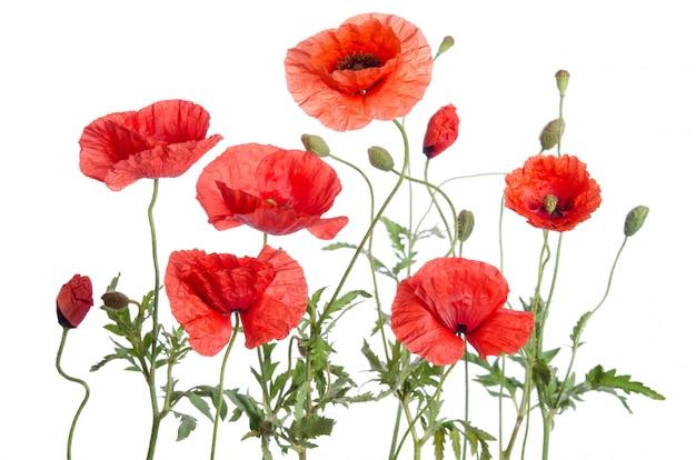 Rote mohnblumen getrennt auf weiß