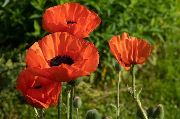 Rote mohnblumen in einem feld, fahne