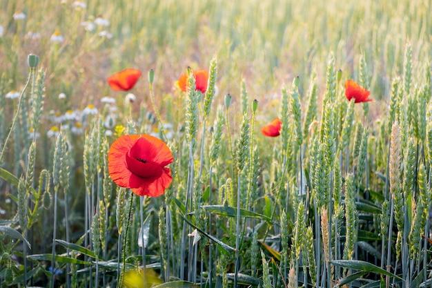 Rote mohnblumen in einem weizenfeld bei sonnigem wetter