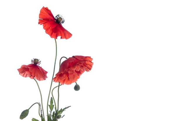 Rote mohnblumen isoliert