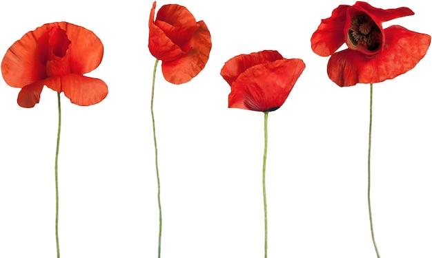 Rote mohnblumen - isoliert