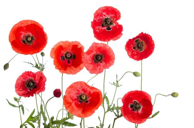 Rote mohnblumen lokalisiert auf weißem hintergrund.