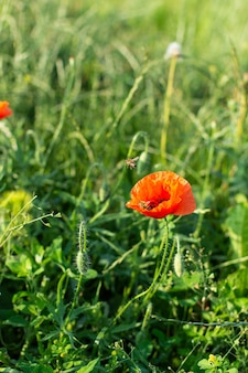 Rote mohnblumen nahaufnahme auf einer wiese in einem dorf, sommer erholung im freien
