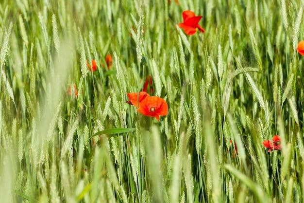 Rote mohnblumen. sommer - kleine rote mohnblumen wachsen im frühling