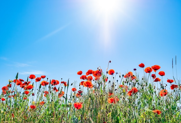 Rote mohnblumen vor blauem himmel