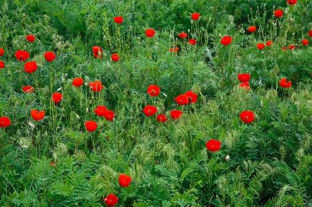Rote mohnblumen. wilde blumen auf einem hintergrund des grünen grases. natürlicher sommerhintergrund.