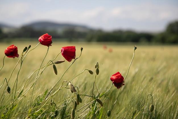 Rote mohnblumenblumen auf einem gebiet
