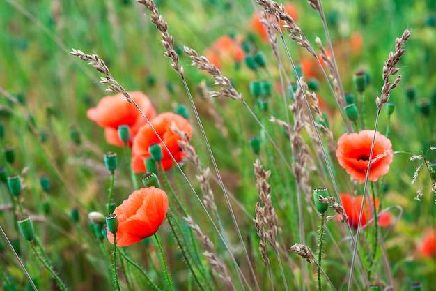 Rote mohnblumenblumen verwischten grünes gras des blauen himmels des hintergrundes