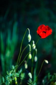 Rote mohnblumenblumen