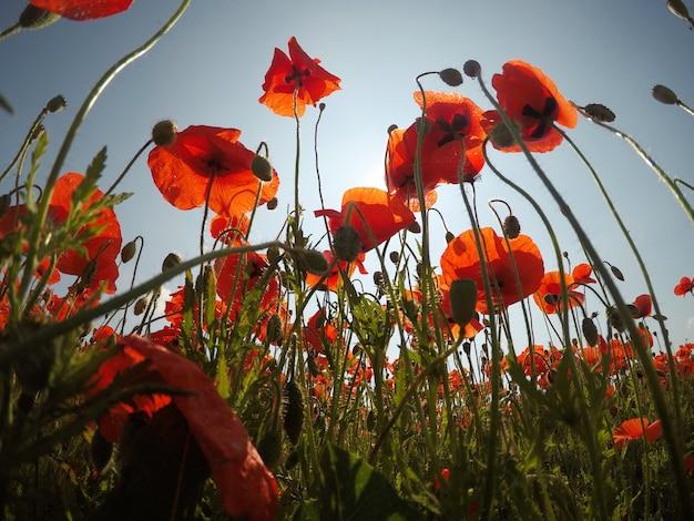 Rote mohnblumenfeldszene des frühen morgens. mohn auf dem feld
