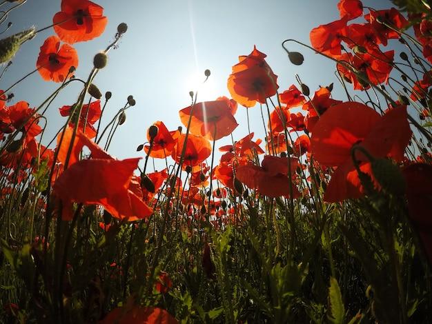 Rote mohnblumenfeldszene des frühen morgens
