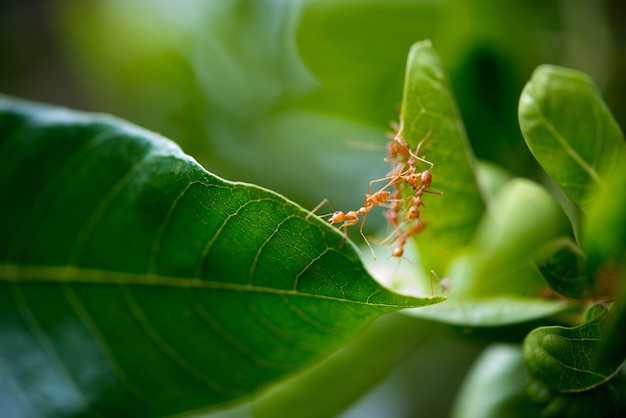 Rote oder gelbe ameisen treffen sich, dass sie neues essen treffen.
