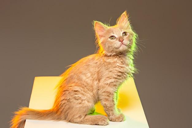 Rote oder weiße katze auf grauem studiohintergrund