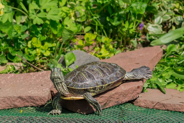 Rote ohrige schildkröte nah oben in der naturumgebung