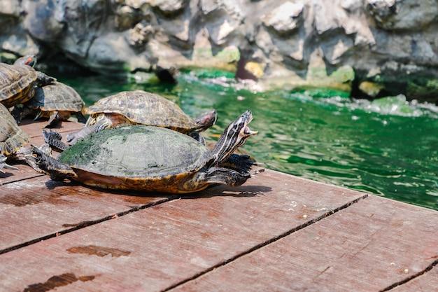Rote ohrige slider schildkröte